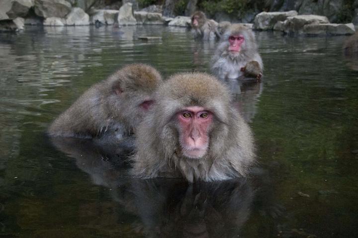 macaques des neiges à Jigokudany