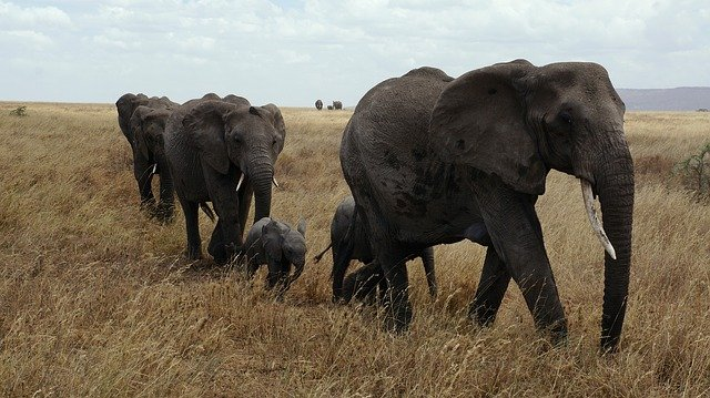 elephants sergenti