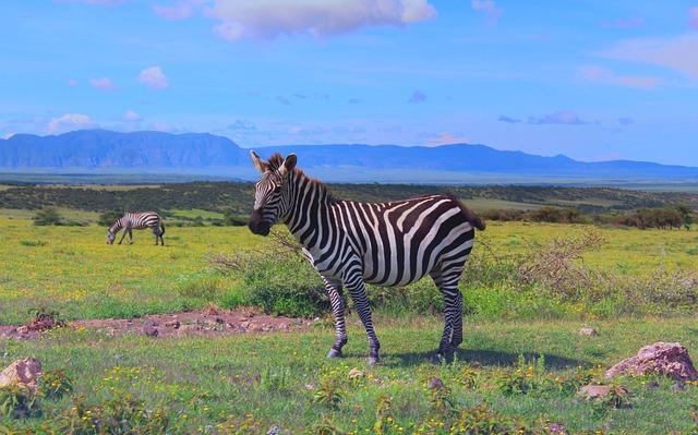zebre Ngorongoro